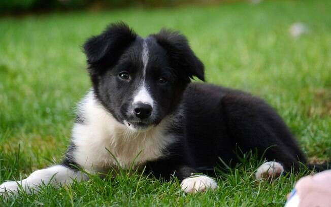 O Border Collie é raça de cachorro mais inteligente do mundo